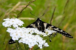 Eastern Tiger Swallowtail - Cortes Island Butterfly photo