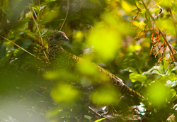 Ruffed Grouse ~ Grouse picture from Calvert Island Canada.