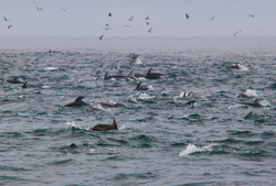 Pacific White-sided Dolphins -  Marine Mammal photo