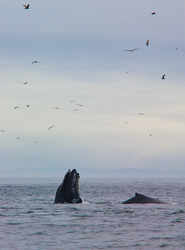 Lunge Feeding Humpbacks -  Whale photo