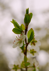 Blooming Cherry Twig -  Cherry Flower photo