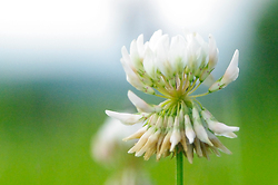 White Clover -  Clover photo