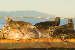Sense of Being Stared At ~ Seal picture from Comox Harbour Canada.