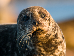 Portrait of a Mother Harbour Seal -  Seal photo