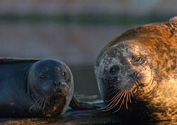 Harbour Seal Mother and Pup ~ Seal picture from Comox Canada.
