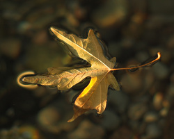 Floating Maple Leaf ~ Abstract Nature picture from Cortes Island Canada.