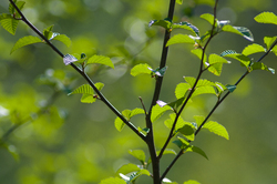 Shades of Green ~ Alder Tree picture from Cortes Island Canada.
