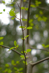 Young Alder in Spring - Alder Tree photo from  Cortes Island BC, Canada