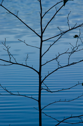 Alder by the Lake ~ Alder Tree picture from Cortes Island Canada.