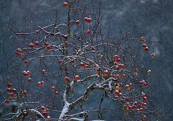 Winter Apples ~ Apple Tree picture from Cortes Island Canada.