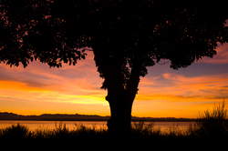 Arbutus Silhouette ~ Arbutus Tree picture from Cortes Island Canada.
