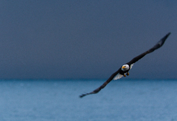Bald Eagle in Flight ~ Bald Eagle picture from Cortes Island Canada.