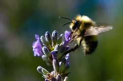 Bee Here Now ~ Bee picture from Cortes Island Canada.