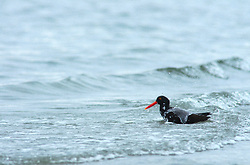 Bathing Oystercatcher ~ bird bathing picture from Cortes Island Canada.