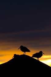 Black Oystercatcher ~ Bird Silhouette  picture from Cortes Island Canada.