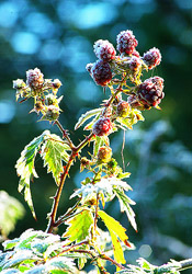 Frosted Blackberries ~ Blackberry picture from Cortes Island Canada.