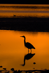 Stillness ~ Blue Heron picture from Cortes Island Canada.