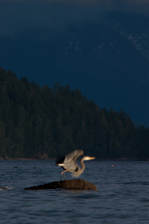 Heron Takeoff ~ Blue Heron picture from Cortes Island Canada.