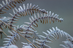 Frozen Bracken ~ Bracken picture from Cortes Island Canada.