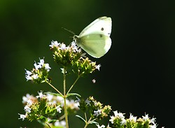 Pieris rapae ~ Butterfly picture from Cortes Island Canada.