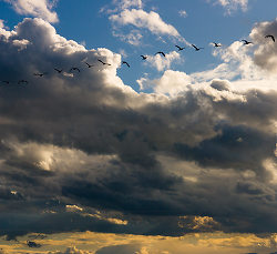 Geese Above ~ Canada Goose picture from Cortes Island Canada.