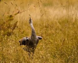Dancing Sandhill Crane ~ Crane picture from Cortes Island Canada.