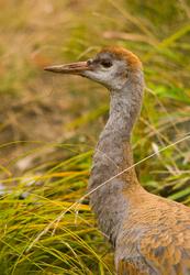 Sandhill Crane ~ Crane picture from Cortes Island Canada.