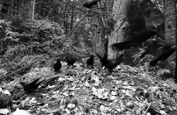 Crows on the Compost Pile ~ Crow picture from Cortes Island Canada.