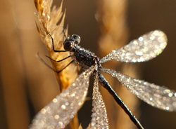 Dewdrops on Damselfly -  Damselfly photo
