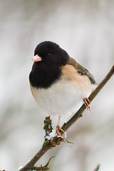 Dark-eyed Junco Portrait - Dark-eyed Junco photo from  Cortes Island BC, Canada