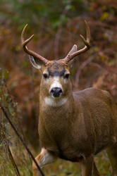 Buck in the Brambles ~ Deer picture from Cortes Island Canada.