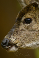 Black-tailed Deer in profile  ~ Deer picture from Cortes Island Canada.