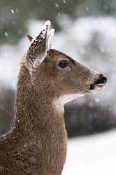 Protrait of a Black-tailed in Falling Snow ~ Deer picture from Cortes Island Canada.