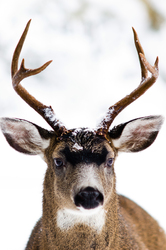 Buck ~ Deer picture from Cortes Island Canada.