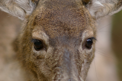 Dear Eyes ~ Deer picture from Cortes Island Canada.