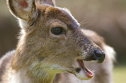 Smiling Blacktail Deer -  Deer photo