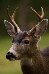 Blacktail Deer - Deer photo from  Cortes Island BC, Canada