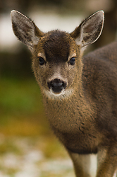 Blacktial Yearling ~ Deer picture from Cortes Island Canada.