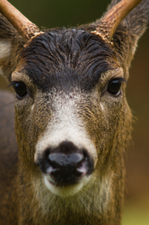Black Tailed Deer -  Deer photo