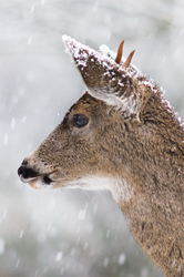 Blacktail Deer -  Deer photo