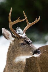 Blacktail buck ~ Deer picture from Cortes Island Canada.