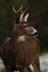 Buck -  Deer photo