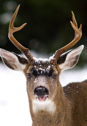 Tongue Out -  Deer photo