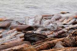 Beach Logs Battered by Swell -  Driftwood photo