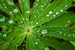 Lupin Star ~ Droplet picture from Cortes Island Canada.