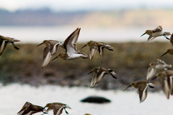 Dunlin ~ Dunlin picture from Cortes Island Canada.