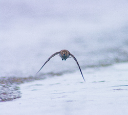 Approaching Dunlin -  Dunlin photo