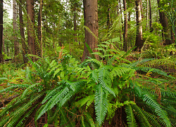 A Forest of Ferns -  Fern photo