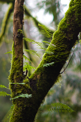 Tree Ferns - Fern photo from Gorge Harbour Cortes Island BC, Canada
