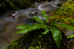 Sword Fern ~ Fern picture from Cortes Island Canada.